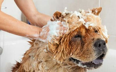 Why and When to Use Oatmeal Shampoo on Your Dog?